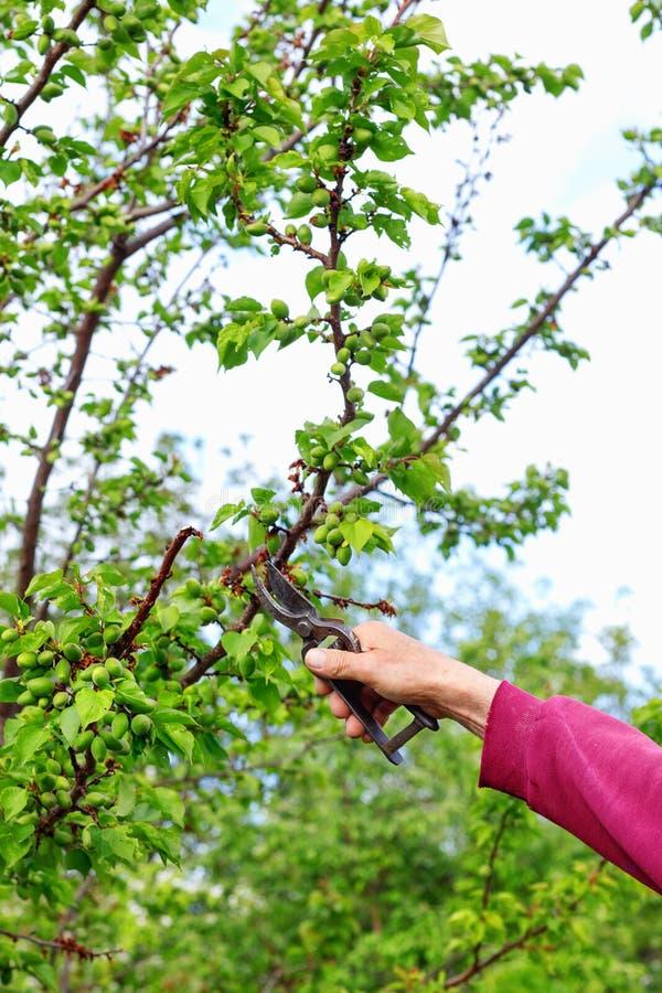 Skrz?tny ?redniorolny m??czyzna przycina drzewa w ogr?dzie outdoors fotografia royalty free