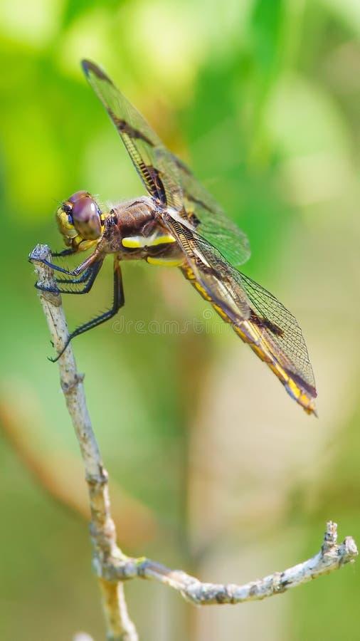 Skrzydła i zadek cedzakowi gatunki wierzę dragonfly - umieszczającego między polowanie wycieczkami na gałązce z pięknym zieleni b obrazy royalty free