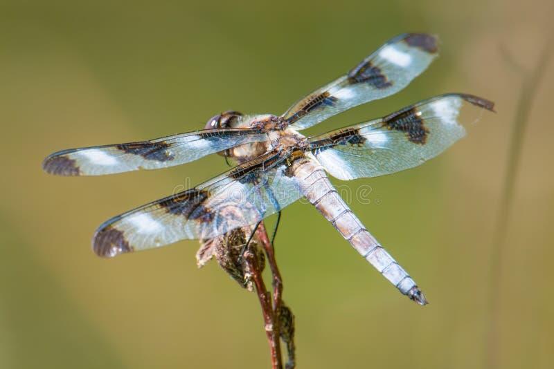 Skrzydła i zadek cedzakowy dragonfly nabierający G - umieszczający między polowanie wycieczkami na gałązce z pięknym zielonym tłe fotografia royalty free