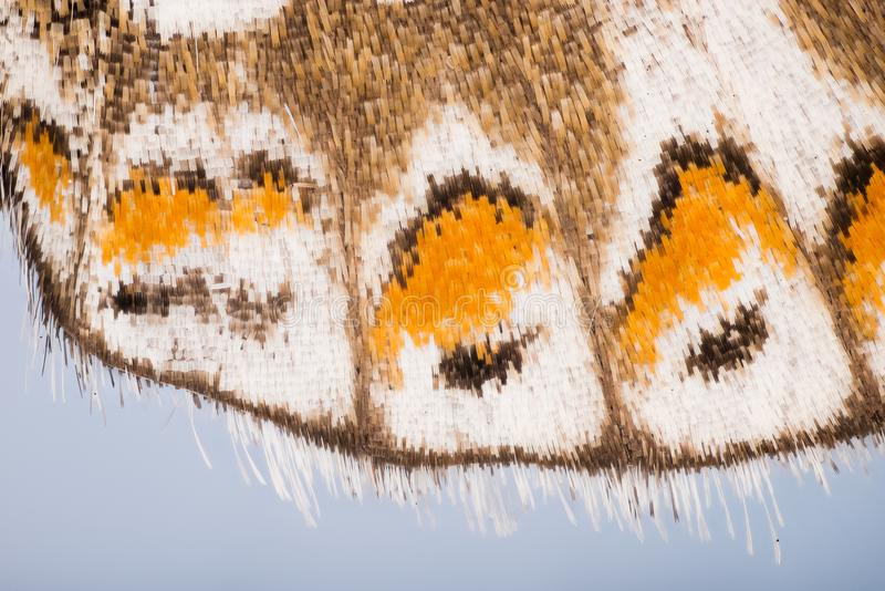 SKRZYDŁA - Motyle, Adonis błękit, Polyommatus bellargus zdjęcia royalty free