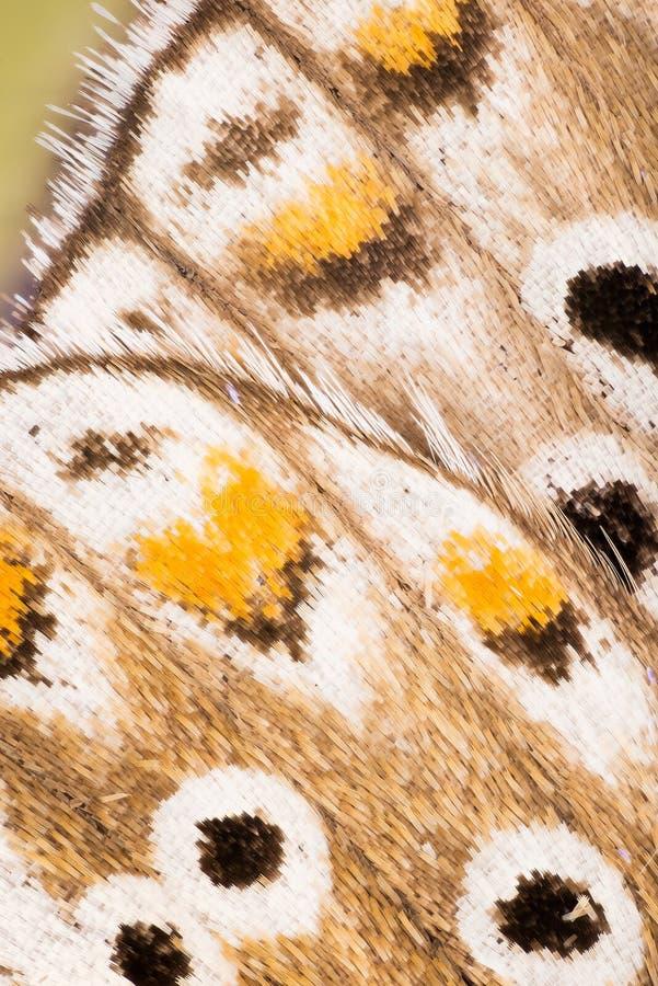 SKRZYDŁA - Motyle, Adonis błękit, Polyommatus bellargus obraz stock