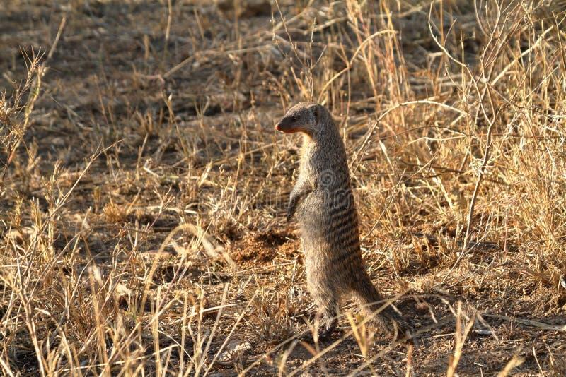 Skrzyknąć mangusty w Serengeti obrazy stock