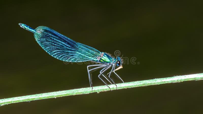 Skrzyknąca demoiselle damselfly samiec na roślina kiju Calopteryx splendens obrazy stock