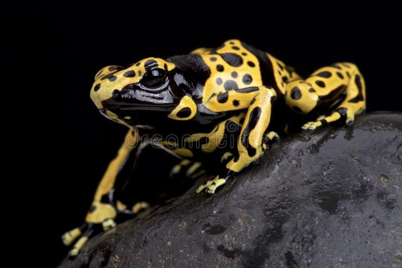 Skrzyknąca jad strzałki żaba (Dendrobates leucomelas) zdjęcia stock