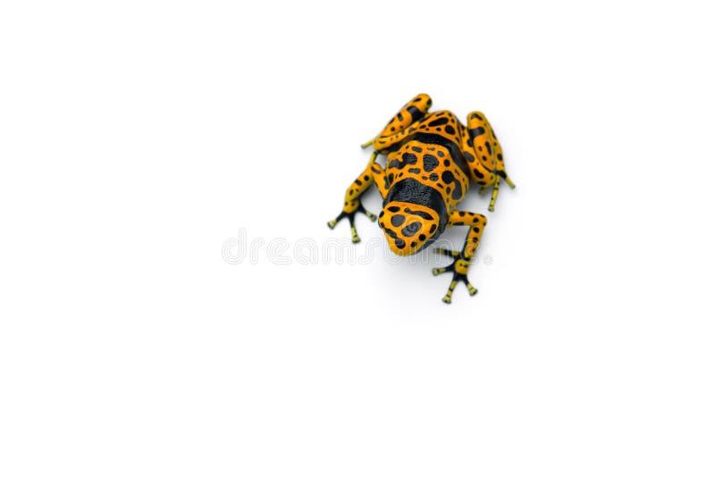 Skrzyknąca jad strzałki żaba odizolowywająca na białym tle obraz stock
