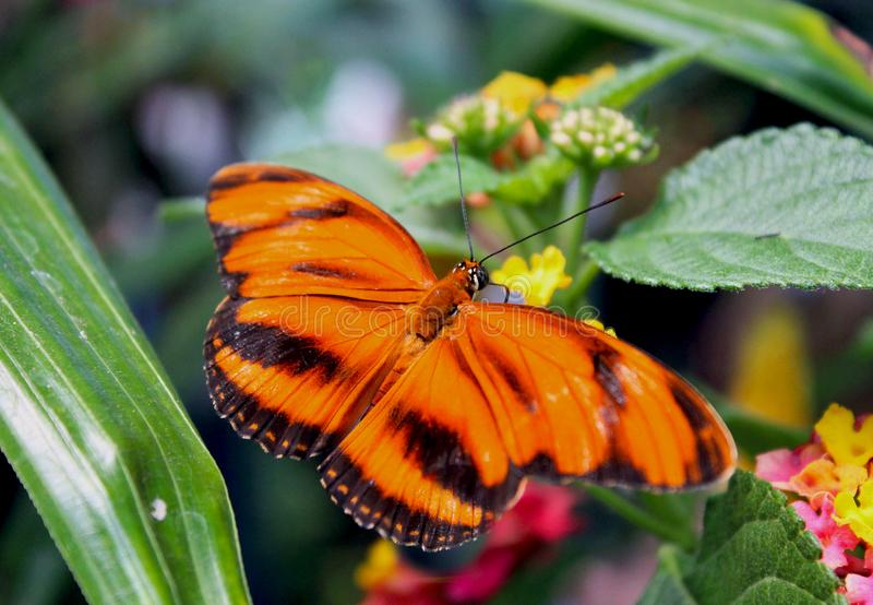 Skrzyknąca pomarańczowa heliconian, skrzyknąca pomarańcze, lub pomarańczowy tygrysi motyl, zdjęcia stock