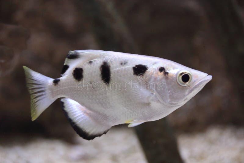Skrzyknący archerfish Toxotes jaculatrix obrazy royalty free
