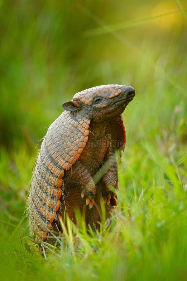 skrzyknący armadyl, Żółty armadyl, Euphractus sexcinctus, Pantanal, Brazylia Przyrody scena od natury Śmieszny portret ręka zdjęcia stock