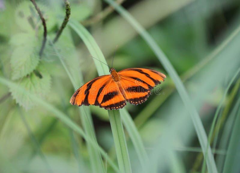 Skrzyknący pomarańczowy heliconian motyl, Dryadula phaetusa obrazy royalty free