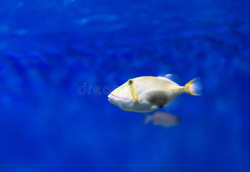 Skrzyknący triggerfish obraz stock