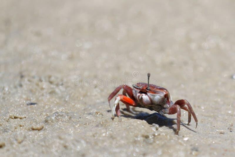 Skrzypacza krab na plaży zdjęcia royalty free
