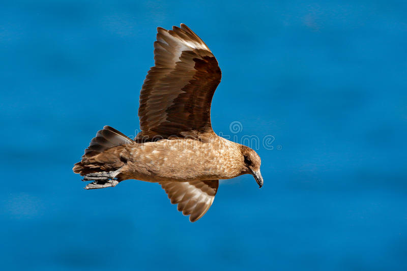 Skua flight. Brown skua, Catharacta antarctica, water bird flying above the sea., evening light, Argentina. Bird fly with blue oce royalty free stock images