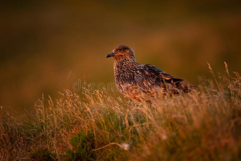 Skua Stercorarius Νησί Runde Άγρια φύση της Νορβηγίας Όμορφη εικόνα Από τη ζωή των πουλιών Ελεύθερη φύση Νησί Runde στη Νορβηγία στοκ εικόνα με δικαίωμα ελεύθερης χρήσης