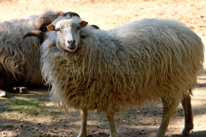 Skudde , one of the oldest domestic sheep breeds royalty free stock photos