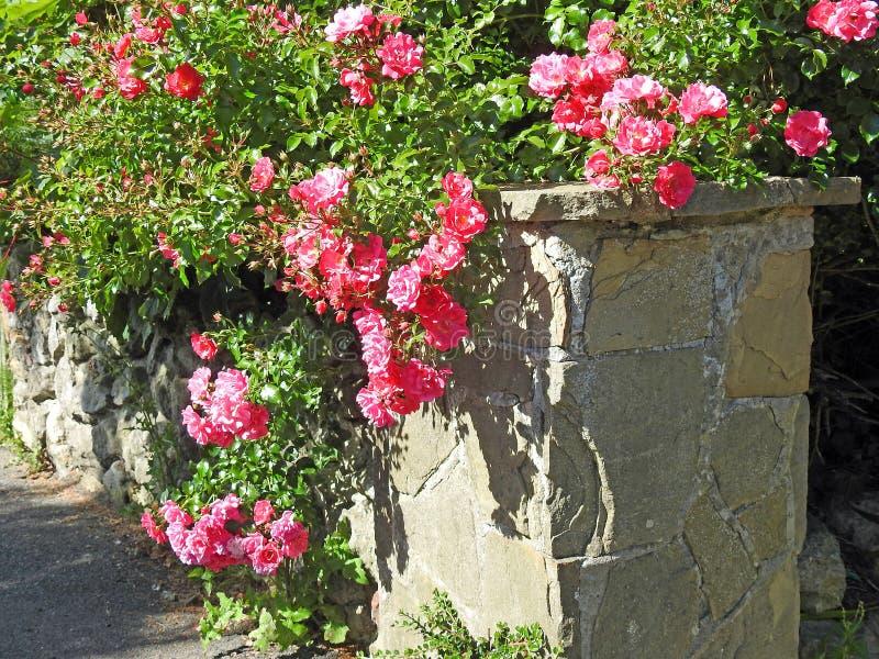 Skugga för sommar för lösa växter för vägg för tegelsten för rosor för Mediterranian villablommor royaltyfria foton