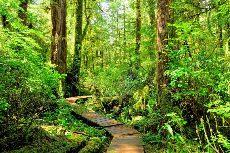 Skugga till och med rainforestsna av Stillahavs- Rim National Park, den Vancouver ön arkivbilder