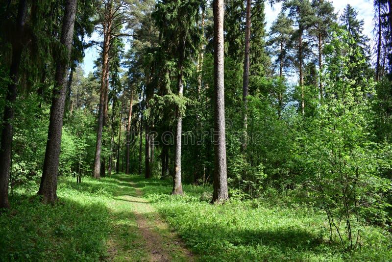 Skuggad slingrig väg av den gamla pinjeskogen till himlarna av nytt ungt gräs arkivbild