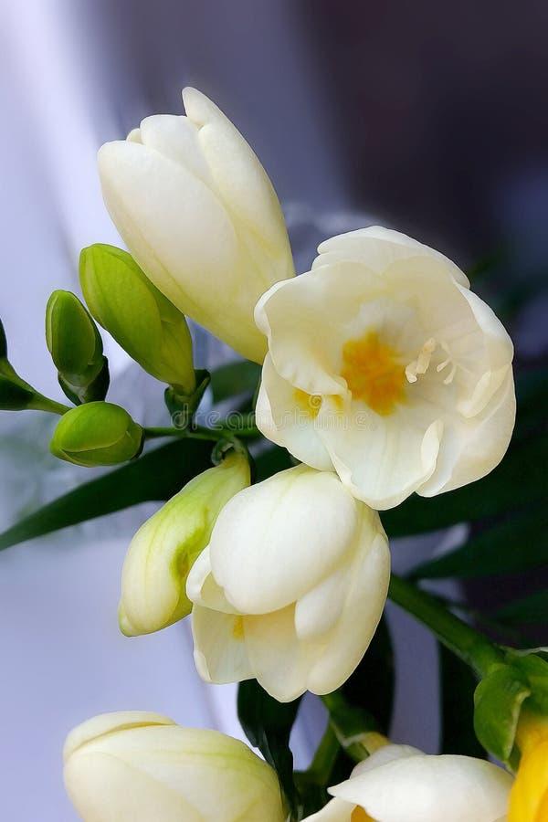 Skuggor av guling på vit freesia fotografering för bildbyråer