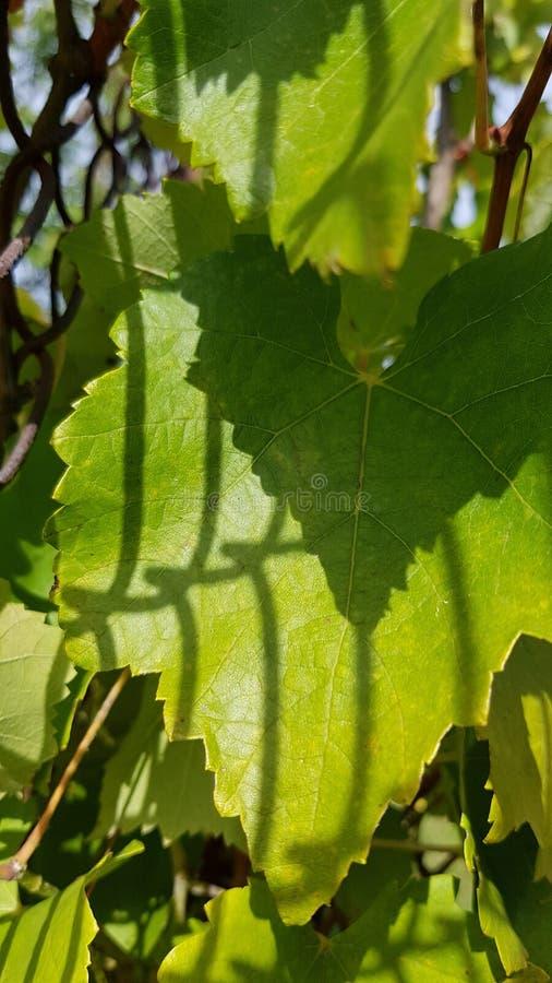 Skuggor från staketet för trådingrepp på frodig grön lövverk av druvavinrankan Naturliga bladtexturer nya greenleaves f?r bakgrun arkivfoto
