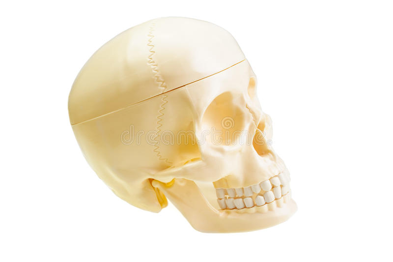 Skull. The artificial skull is isolated on a white background stock images