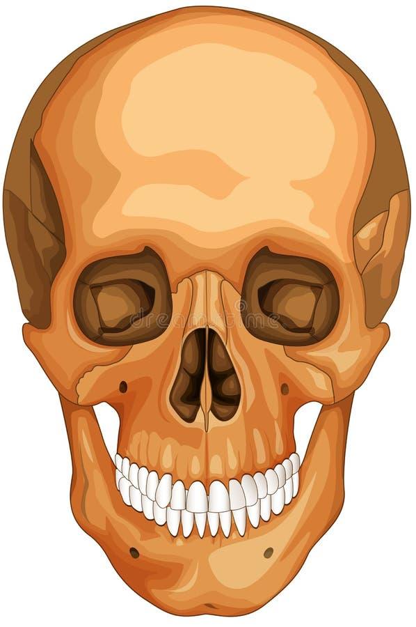 Download Skull Royalty Free Stock Photo - Image: 18293835