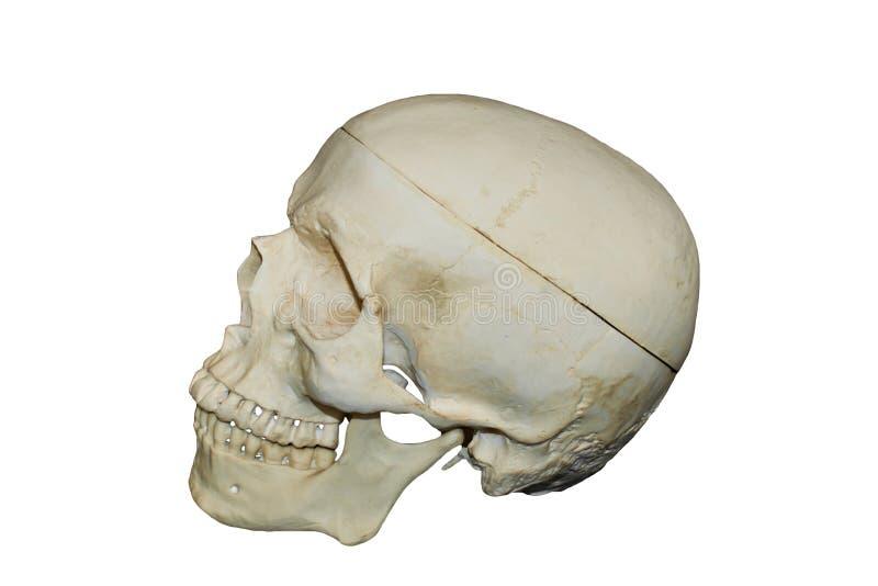 Download Skull stock image. Image of carcass, dead, skull, skeleton - 18421449