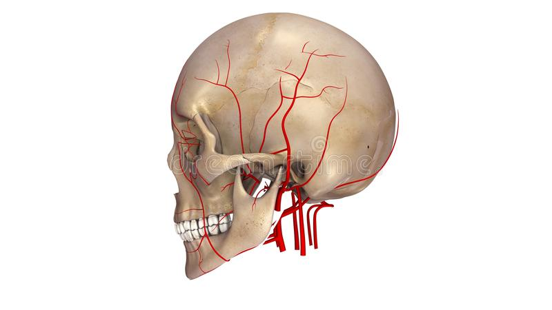 Skull with Arteries lateral view stock illustration