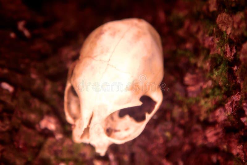 Skull as a symbol of death. The skull as a symbol of death (memento mori). White animal skull with large eye sockets (orbital cavity) and predatory teeth (fang stock photo
