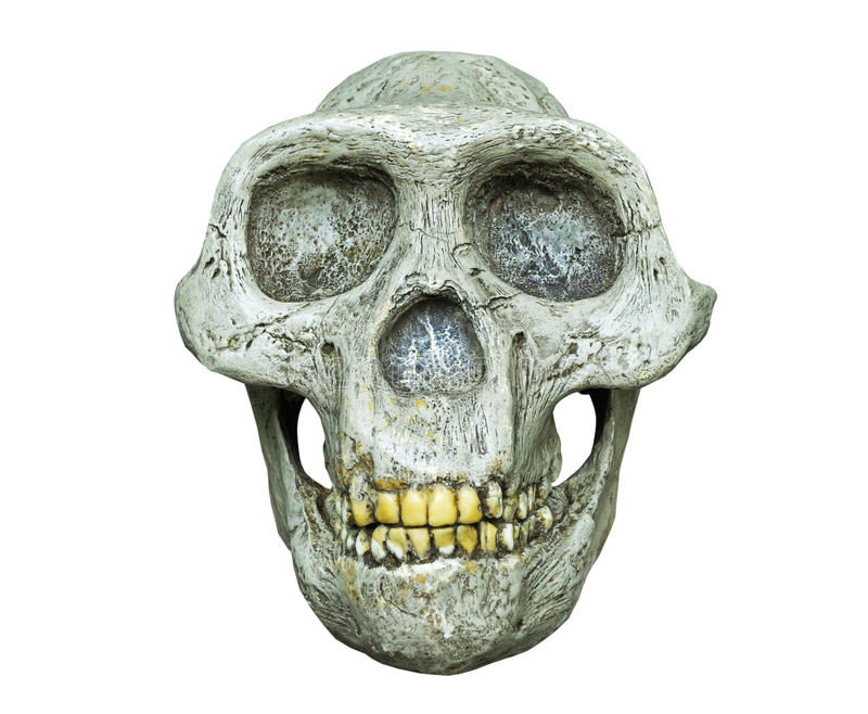 The skull of Australopithecus africanus from Africa stock photos
