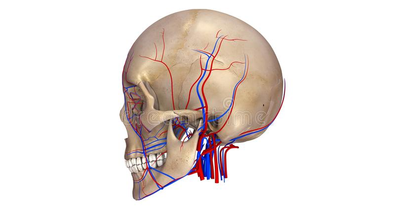 Skull with blood vessels lateral view royalty free illustration