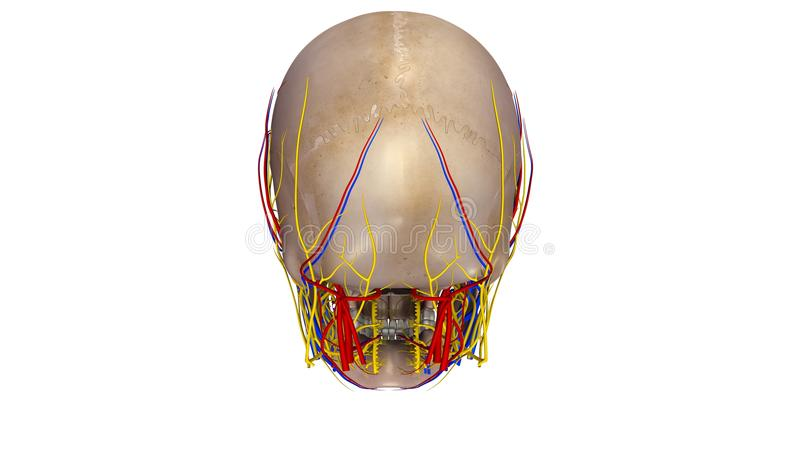 Skull with blood vessels and Nerves posterior view vector illustration