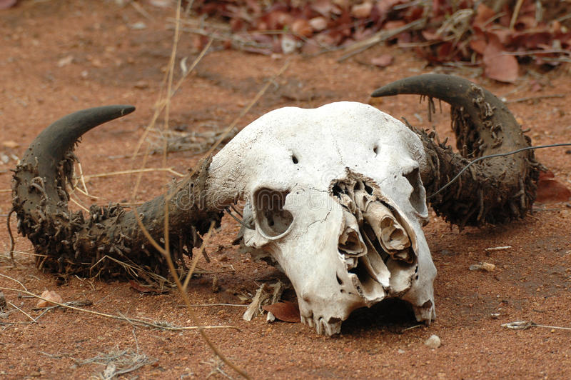 Skull of a buffalo stock images