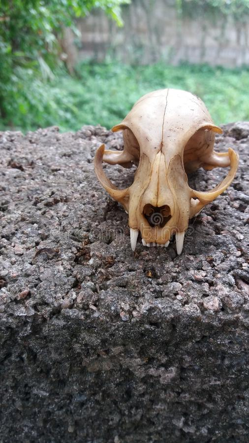 Skull Cat Found in Yard nature 2 royalty free stock photo