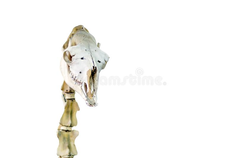 Skull and cervical vertebrae of a camel. A real museum exhibit. Isolated. Picture for a scientific or veterinary theme. Skull and cervical vertebrae of a camel royalty free stock images