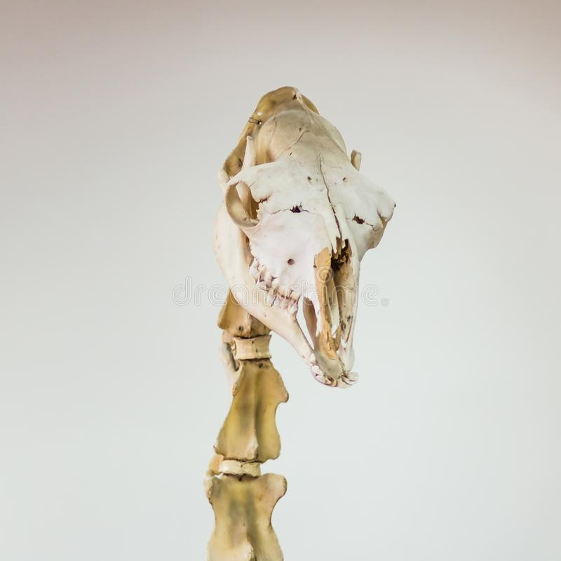 Skull and cervical vertebrae of a camel. A real museum exhibit. A square picture for a scientific or veterinary theme. Skull and cervical vertebrae of a camel stock photos