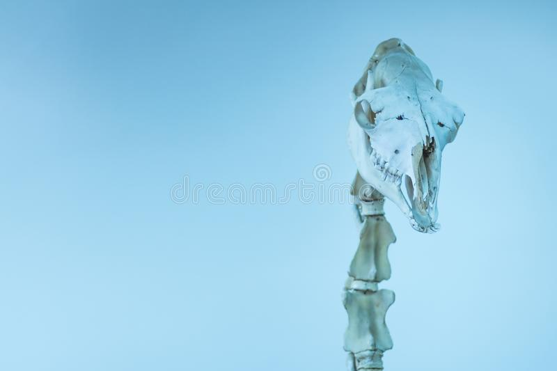 Skull and cervical vertebrae of a camel. A real museum exhibit. Toned in blue picture. Scientific or veterinary theme. Skull and cervical vertebrae of a camel stock photo