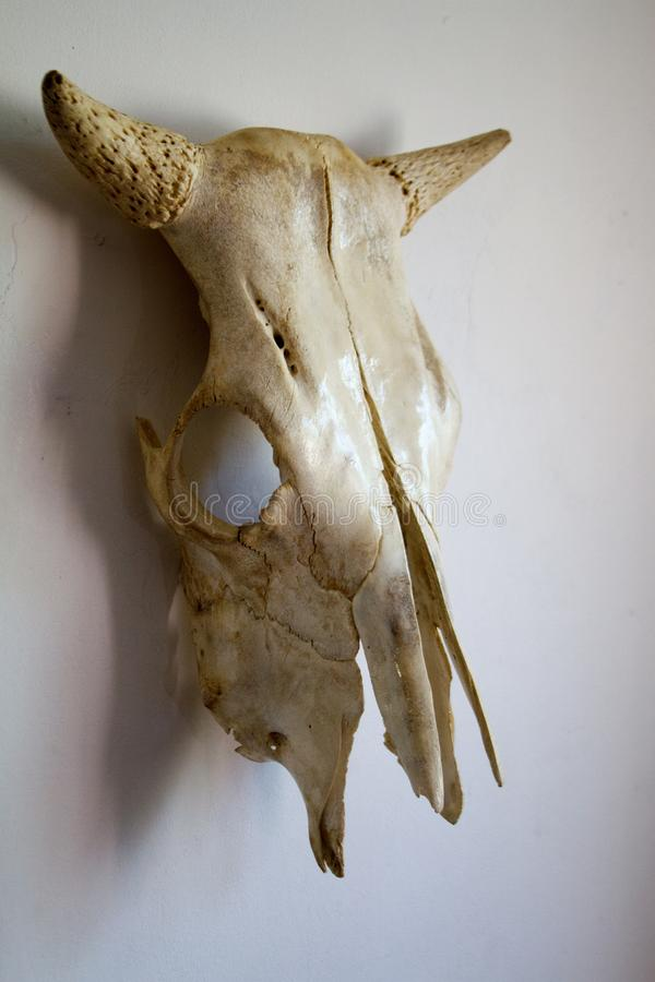 Skull of a cow with horns on a white wall background, selective focus stock image
