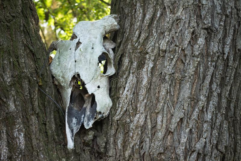 Skull of a dead cow on a tree trunk stock photos