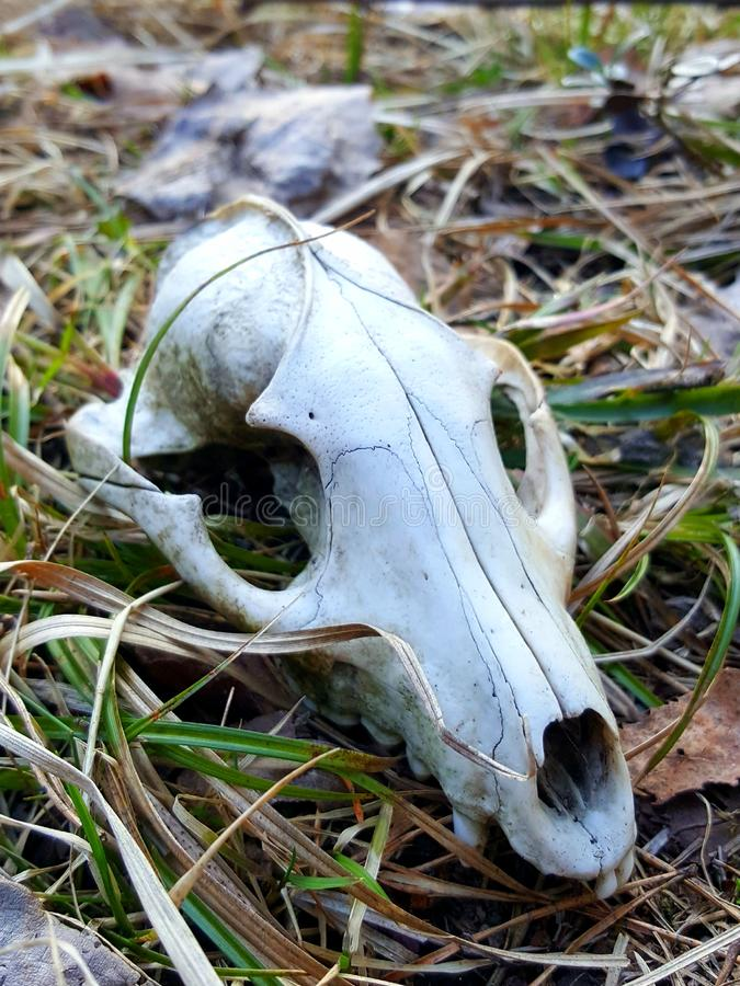 Skull of a dead fox in a forest in spring. Harsh winter conditions in Finland did not let the animal survive. Red, redfox, vulpes, foxes, vixen, skeleton, die stock photos