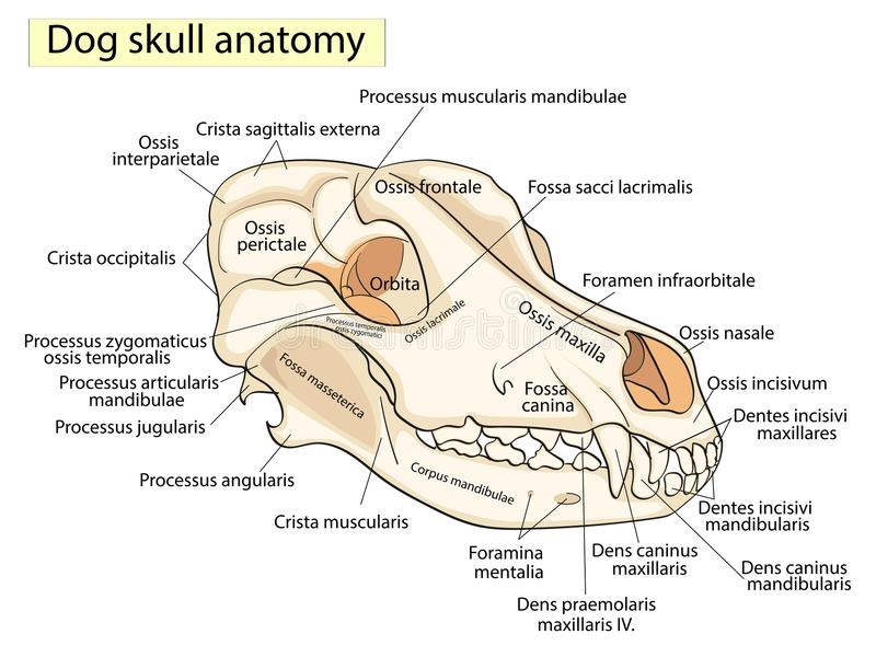 The Skull Of A Dog. Structure Of The Bones Of The Head, Anatomical ...