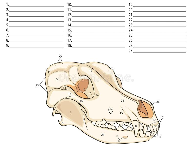 The skull of a dog. Structure of the bones of the head, anatomical design. In Latin. The skull of a dog. Structure of the bones of the head, anatomical design stock photos