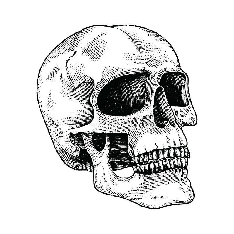 Skull hand drawing engraving illustration. Clip art isolated on white background vector illustration