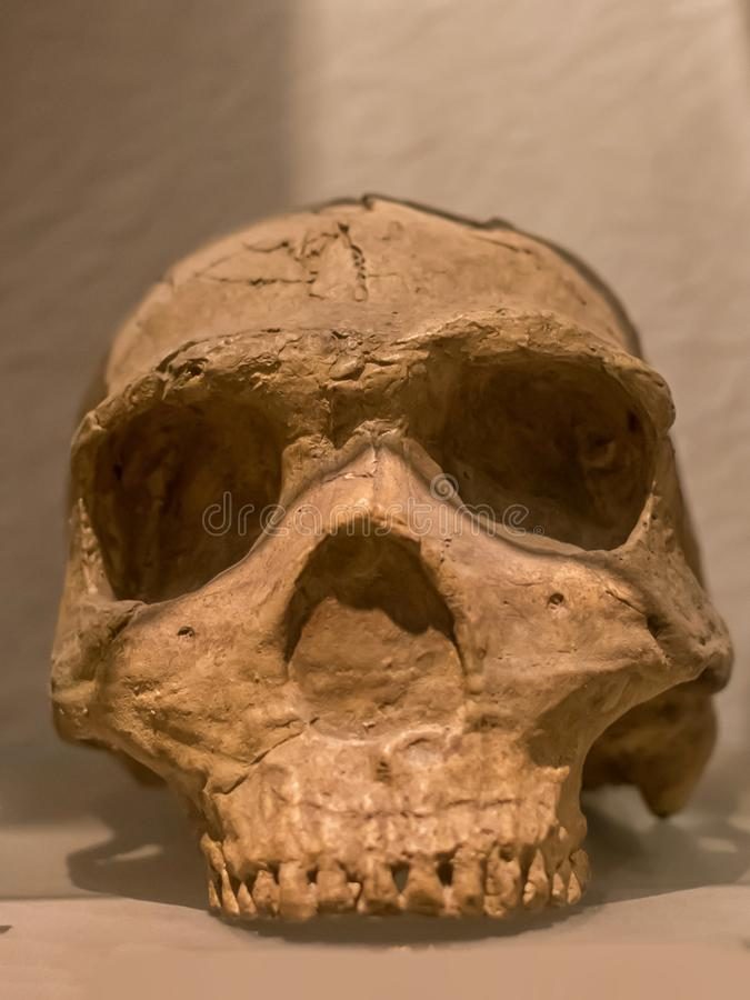 Skull of Homo erectus is a species of archaic humans that lived throughout most of the Pleistocene geological epoch royalty free stock images