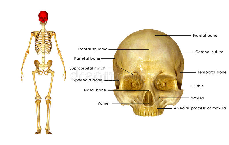 Skull. The human skull is a bony structure, the head in the skeleton, which supports the structures of the face and forms a cavity for the brain stock illustration