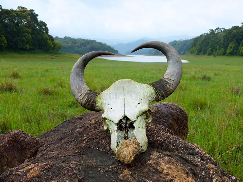 Skull in National park. This skull was seen in the periyar national park in Kerala, India. Incidentally the only park, where tourists are allowed to trek within stock photos