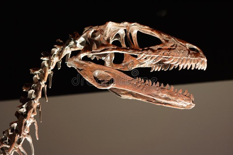 Skull and neck of large prehistoric dinosaur. Carnivorous dinosaur with serrated teeth that lived during the Cretaceous period stock image