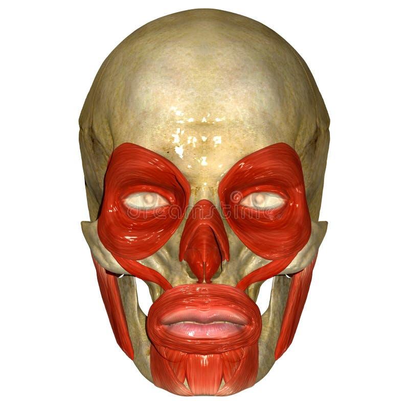 Skull With Orbicularis Oculi Muscle Stock Illustration ...
