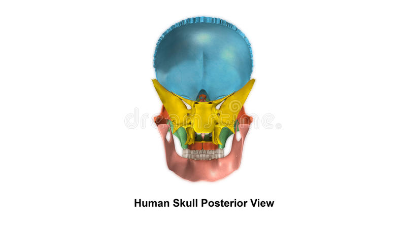 Skull Posterior view stock photos