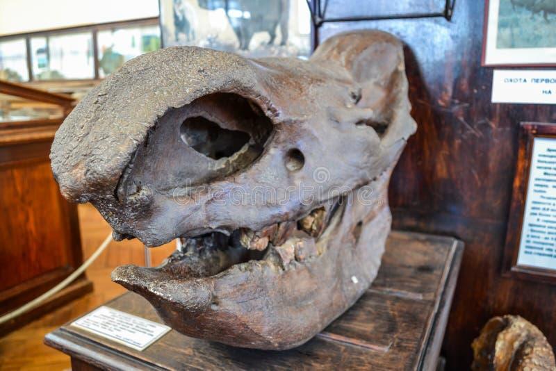 The skull of a prehistoric rhinoceros stock photography