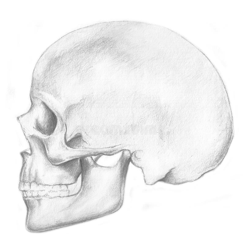 Skull - skeleton royalty free stock photography